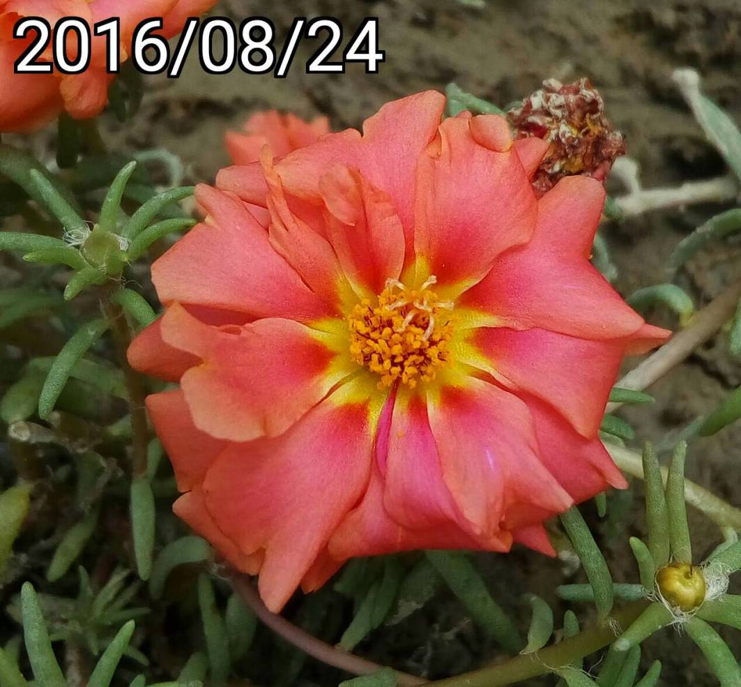 黃橘紅色複瓣松葉牡丹 yellow-orage multi-petalled Portulaca pilosa, kiss-me-quick, hairy pigweed